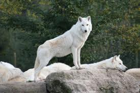 loup male alpha