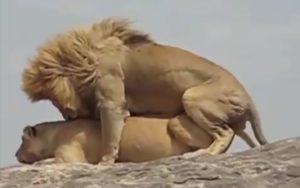 lion dominant nature